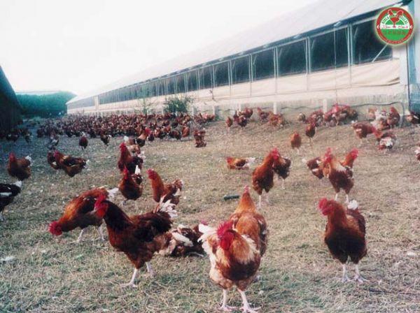 abattoir poulet halal gennevilliers